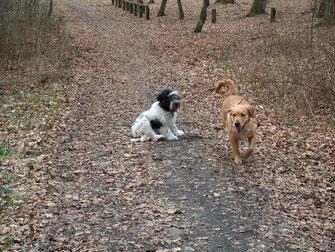 Welpe Ginger setzt sich zur Beschwichtigung auf den Hosenboden, als die noch unbekannte Aischa auf sie zukommt. Es wirkt, Aischa geht im Bogen an ihr vorbei - beide haben sich vorbildlich verhalten.