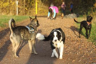 Es ist nicht Paul der beschwichtigt, sondern die schwarze Hündin hinten rechts. Luna kennt die anderen Hunde noch nicht so gut.