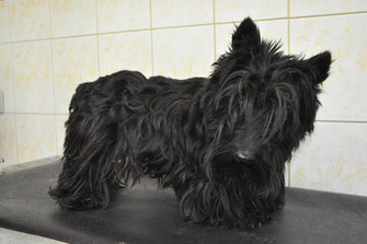 scottish terrier avant son toilettage