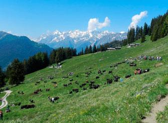 Paysage des Alpes Suisse avec troupeau de vaches