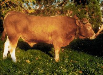 Loulou, né dans l'Isère, 1er taureau utilisé en Insémination artificielle