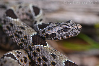 Rattlesnakes of Mexico, Snakes of Mexico, Sonora
