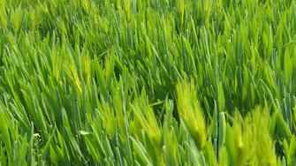 Gerstengras - ein Vitalstoffkomplex - Vegansports