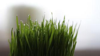 Weizengras - reich an Chlorophyll - Vegansports