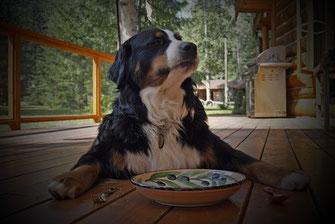 chien bouvier bernois blanc noir marron couché à terre devant une assiette placée entre une cueillère et un fourchette par coach canin 16 en charente