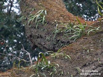 画像:2020/01/11 アカメヤナギにノキシノブが着生