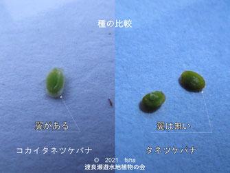 コカイタネツケバナとタネツケバナの種の比較