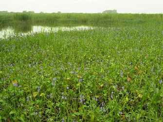 図11.大きな群落になったミズアオイ 2004年の画像