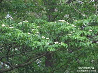 画像:2020/05/03 ミズキの開花
