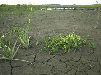 図10.裸地になって翌年に生えてきたミズアオイ 2002年の画像