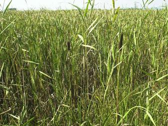 図12.ヨシやガマが繁茂してミズアオイが消えてしまった 2006年の画像