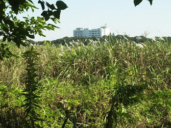 図9.ヨシ・オギの高茎草原への遷移 2006年の様子の画像