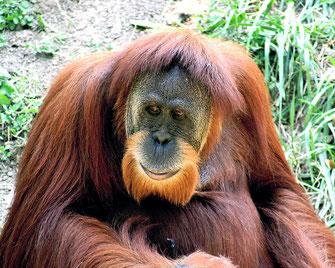 Männlicher Sumatra Orang Utan