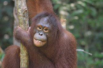 Weiblicher Borneo Orang Utan