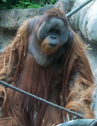 Männlicher Borneo Orang Utan