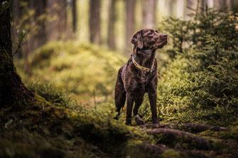 Brauner Labrador steht auf einer Wurzel mit Moss im mystischen Wald festgehalten von der Hunde Fotografin Monkeyjolie in Graubünden