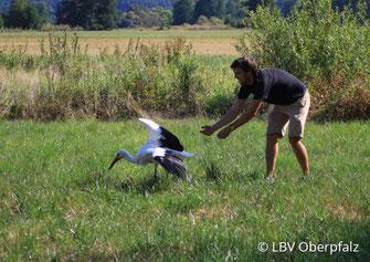 Storch bei der Auswilderung