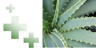 aloe vera, meilleurs produits aloe vera, récolte de l'aloe vera, tout savoir sur l'aloe vera, composition de l'aloe vera, sur quoi agit l'aloe vera, plante médicinale, pharmacie, meilleure santé au naturel