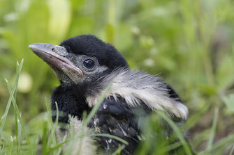 Junge Elster Tier Vogel Gefunden Hilfe