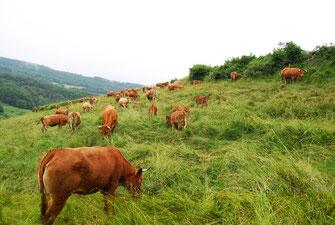 Ferme du Chalabrais - vaches - Foussarigues - Rivel