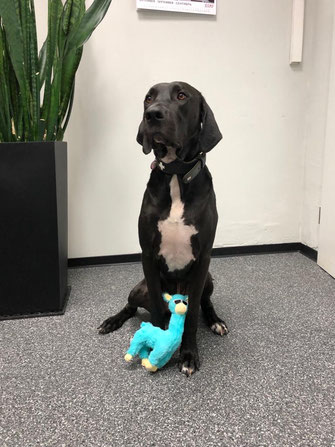 hundestrand Hund Bürohund Junior Hundespielzeug Lama