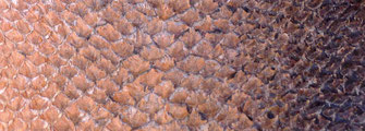Détail cuir de saumon marron teint au cachou