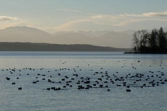 Wasservögel am Starnberger See @ Anette Saitner