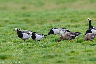banrnacle geese branta leucopsis