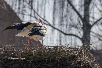 weissstoerche auf dem nest