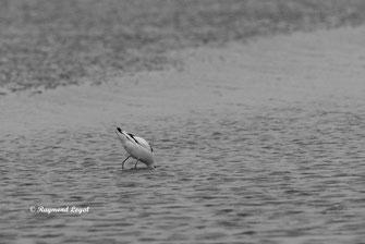 saebelschnaebler vogel wasser