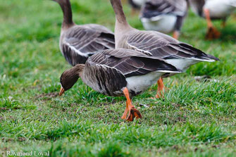 greater light-fronted goose anser albifrons on greenlands