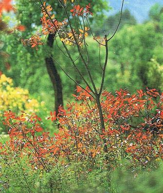 Flora endémica  del río Bergantes de Castellón, Comunidad Valenciana, España.