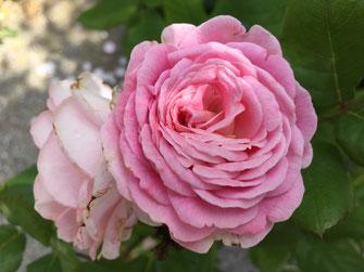 Rose, Rosengarten