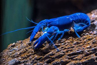 Blauer Hummer