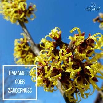 Hamamelis-Blüte