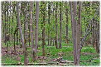 Das zarte frische Frühlingsgrün im Wald