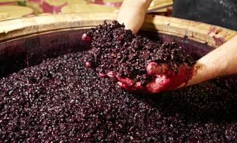Die Maische ist die Grundlage des zu kelternden Weines.