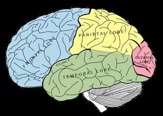 Ultrabem        脳の構造と機能の基礎(ヒト)References