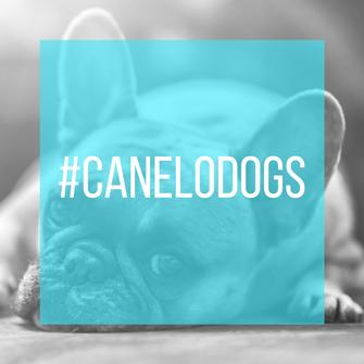 Bulldoge als Link zur Aktion #canelodogs