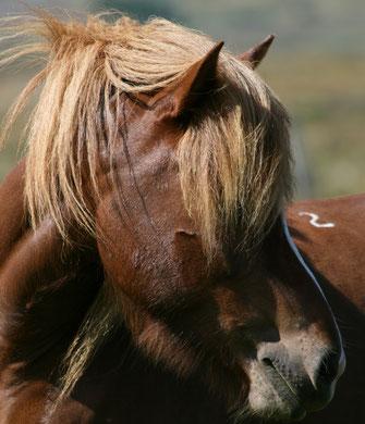 Islandpferde - die Leidenschaft der Verdener Islandpferdefreunde