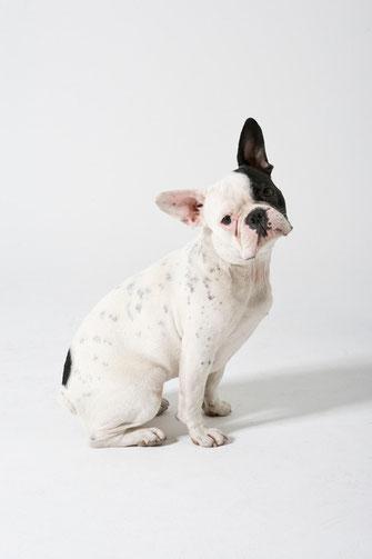 Französchische Bulldogge