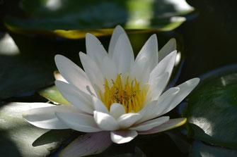 weiße Teichblume im Teich schwimmend
