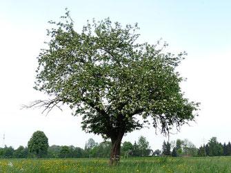 Apfelbaum, Irland