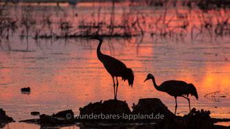 Tanz der Kraniche - Der Hornborgasjön ist einer der bekanntesten Vogelseen Europas. Der Kranichtanz im Frühling ist eines der eindrucksvollsten Naturereignisse.