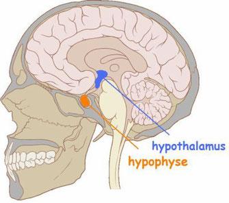 Localisation de l'hypotalamus et de l'hypophyse chez l'Homme. Source: http://anevma.e-monsite.com