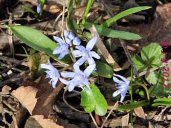 Zweiblättrige Blaustern (Scilla bifolia), auch Sternhyazinthe oder Zweiblättrige Meerzwiebel genannt.