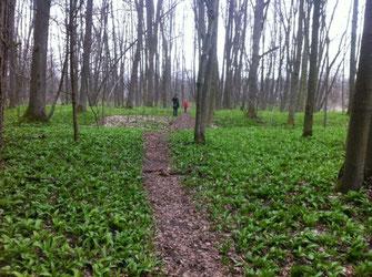 Bärlauch im Wald; Begegnung mit einem Pflanzenwesen; Foto: Irene Arbeithuber