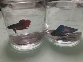 赤と青いベタ