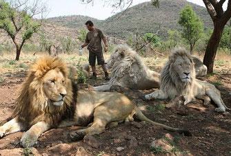 Kevin Richardson con alcuni dei suoi 38 leoni