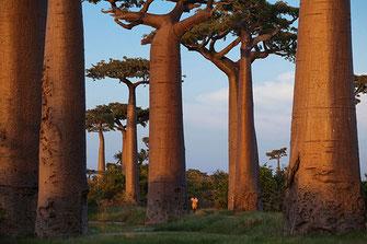 """Il """"viale dei baobab"""", vicino a Morondava, nel Madagascar"""